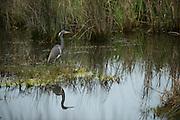 Tricolored Heron (Egretta tricolor)<br /> Little St Simon's Island, Barrier Islands, Georgia<br /> USA