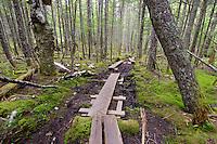 Hiking trail bog crossing Cutler Land Reserve, Cutler Maine. USA