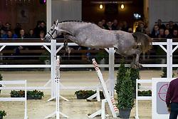 022, Nibali van het Eikenhof<br /> BWP Hengsten keuring Koningshooikt 2015<br /> © Hippo Foto - Dirk Caremans<br /> 23/01/16