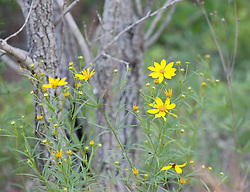 Yellow Wildflowers against Pine Trees