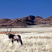 Africa, Namibia, Sossusvlei. Lone Oryx in the Namib Rand.