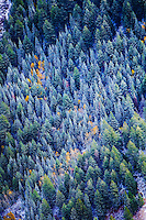 Snow covered pine trees with the occasional aspen changing colors in the late fall