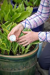 Protecting pot grown hostas with slug pellets