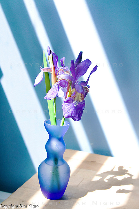 Iris in the blue studio<br /> <br /> photo by Star Nigro<br /> <br /> ©2021 All artwork is the property of STAR NIGRO.  Reproduction is strictly prohibited.