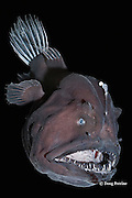 deep sea anglerfish, angler fish, doublespine seadevil, or black seadevil black seadevil, Diceratias pileatus (c), uses bioluminescent lure to attract prey in the deep ocean; brought up from a depth of 3,300 feet (1000m) in a water intake pipe at Natural Energy Lab of Hawaii (NELHA), Keahole, Kona, Hawaii ( the Big Island ) (dm)