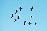 Glossy ibis (Plegadis falcinellus), Danube Delta, Romania.