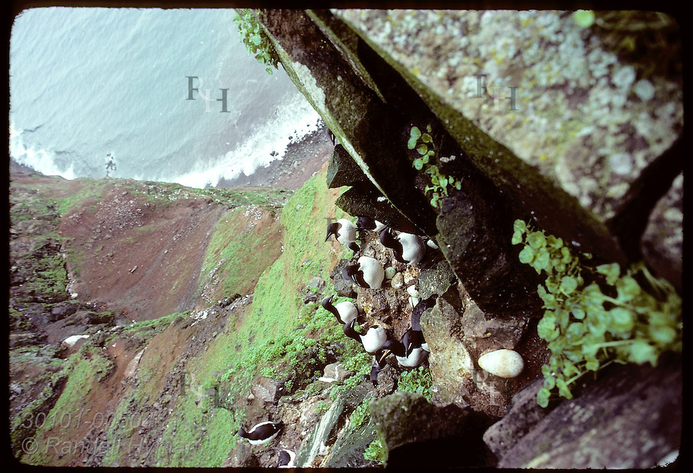 Murres compete for space on Haelavikurbjarg cliff to lay eggs as waves hit shore far below. Iceland