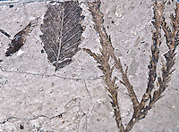 Fossil of a beach leaf and a juniper branch.  Found near Florissant Fossil Beds National Monument, Colorado.
