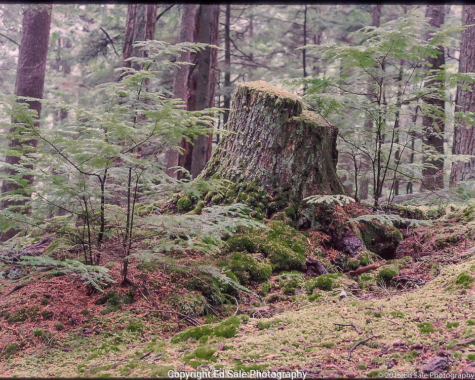 Old growth tree stump sits among new growth in deep forest scene