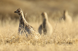 May 4, 2019 - Minot, ND, United States of America - Sharp tailed grouse on the dancing grounds during mating season at Upper Souris National Wildlife Refugee near Minot, North Dakota. (Credit Image: © David Scultz via ZUMA Wire)