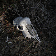 Sheep skull in Zamora province, Spain . The WAY OF SAINT JAMES or CAMINO DE SANTIAGO following the Silver Way, between Seville and Astorga, SPAIN. Tradition says that the body and head of St. James, after his execution circa. 44 AD, was taken by boat from Jerusalem to Santiago de Compostela. The Cathedral built to keep the remains has long been regarded as important as Rome and Jerusalem in terms of Christian religious significance, a site worthy to be a pilgrimage destination for over a thousand years. In addition to people undertaking a religious pilgrimage, there are many travellers and hikers who nowadays walk the route for non-religious reasons: travel, sport, or simply the challenge of weeks of walking in a foreign land. In Spain there are many different paths to reach Santiago. The three main ones are the French, the Silver and the Coastal or Northern Way. The pilgrimage was named one of UNESCO's World Heritage Sites in 1993. When there is a Holy Compostellan Year (whenever July 25 falls on a Sunday; the next will be 2010) the Galician government's Xacobeo tourism campaign is unleashed once more. Last Compostellan year was 2004 and the number of pilgrims increased to almost 200.000 people.