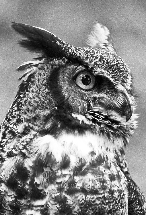 This female Great Horned Owl was found injured in a sludge pit in 1991. She needed rehabilitation for the extensive muscle damage she suffered to her left wing. Though permanently disabled, she has been an incredible ambassador for her species, as a favorite bird used in Raptor Outreach programs.