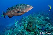 yellowmouth grouper, Mycteroperca interstitialis, Cypress Canyons, Ambergris Caye, Belize, Central America ( Caribbean Sea )