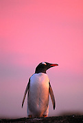 Gentoo penguin with pink sunset.