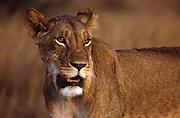 African wildlife, lioness, in Nairobi National Park, Kenya looks across plains, close-up portrait