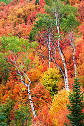 Fiery Idaho Autumn.  The mountain maples are ablaze in the last half of december in Eastern Idaho