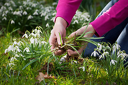Dividing snowdrops in the green. Separating