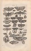 Copperplate print of butterflies and moths from Johannes Jonston book of nature 'Dr. I. Ionstons Beschrijving vande natuur der vogelen neffens haer beeldenissen in koper gesneden' Published in Amsterdam in 1660