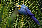 Blue & Yellow Macaw<br />Ara ararauna<br />Cerrado, BRAZIL.  South America<br />Range: e Panama to e Brazil