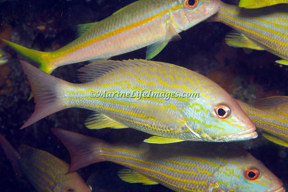 Lane Snapper inhabit shallow and mid-range reefs in Tropical West Atlantic; picture taken Key Largo, FL.