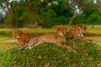 Cheetahs sitting on a mound, near Kwara Camp, Okavango Delta, Botswana.