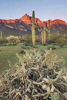 Saguaro and Cholla Cactus, Organ Pipe Cactus National Monument Arizona