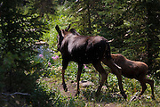 This is Ms. Moose. And those are, I believe, porcupine quills in her muzzle, so I must forgive her for her bad mood. We almost bumped into Ms. Moose on the way back from Electric Peak - she, and her offspring, Junior, were foraging on the banks of Glen Creek. We came within a few metres of them before stopping still, and backing off a bit. The two moose took off out of the water, and onto the trail ahead of us. We gave them a few minutes to get ahead, then moved slowly along the path. After 50m or so, we spotted Ms. M at the other side of the narrow creek, alone. Junior was nowhere to be seen. Suddenly she took off, and made to head us off on the path. We retreated, and ended up the path, farther back then when we had first encountered. She followed us, quickly but not aggressively, with a sense of purpose and authority, and didn't get too close. When we reached open country, she escorted us no further. After a short pause, she made a quick turn and galloped away down the path. After a few minutes, we followed, even more tentatively than before. Neither Ms. Moose or Junior were anywhere to be seen; the path then opened out into flat, sagebrush country, with willow bushes on the right. We kept a close watch, but we didn't see the moose family again.