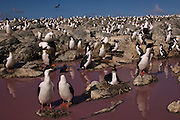 Imperial Cormorants or King Shags or King Cormorants  (Phalacrocorax atriceps albiventer)<br /> Nesting on a Pink Pond. Steeple Jason Island. FALKLAND ISLANDS.<br /> RANGE: Coasts of South America, Subantarctic Islands, Antarctic Peninsula<br /> They usually breed in closely packed colonies often associated with Rockhopper Penguins and Black-browed Albatross on flat cliff top sites. The nest is a column of mud, tussock grass and algae. 2 - 4 eggs are layed. They feed offshore, often in flocks pursuing feed, usually small schooling fish.<br /> <br /> The Jasons (Grand and Steeple) are a chain of islands 40 miles (64km) north and west off West Falkland towards Patagonia. Steeple is 6 by 1 mile (10Km by 1.6km) in size. From the coast the land rises steeply to a rocky ridge running along the length. <br /> This island has the largest Black-browed Albatross colony in the world with 113,000. The island is owned by WCS (Wildlife Conservation Society)