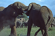 Male elephant fighting, Amboseli National Park, Kenya,