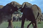 Male elephant fighting, Amboseli National Park, Kenya,