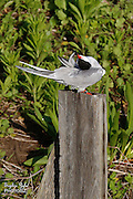Common Tern Yoga Preening
