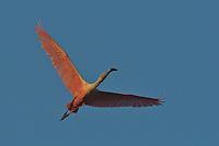 Roseate Spoonbill (Ajaia ajaja) in flight..Everglades National Park, Eco Pond.