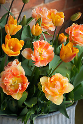Tulipa 'Apricot Foxx' and 'Charming Beauty' (same as Orange Angelique' and 'Charming Lady') in a container