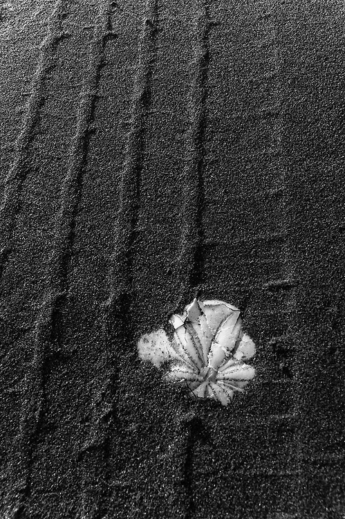 Sand dollar, Hobuck Beach, Makah Reservation, Pacific Ocean, Olympic Peninsula, Washington, USA