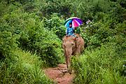 A mahout carrying a colourful, rainbow umbrella riding an elephant in the jungle, Anantara Elephant Camp, Chiang Rai, Thailand