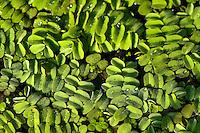 Salvinia (Salvinia natans) close up, Lake Tisza, Hortobagy National Park, Hungary
