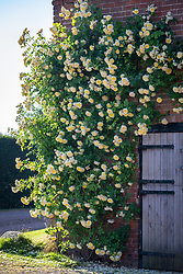 Rosa 'The Pilgrim' syn. 'Auswalker' growing on the wall of a barn