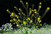 Gras, bloemen en onkruid langs een kade van een gracht in de stad - Grass, flowers and weeds along a quay of a canal in the city