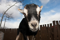 A very social goat gets to know my lens at Butterfield Acres...©2008, Sean Phillips.http://www.Sean-Phillips.com