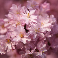 """""""Pink Profusion""""<br /> <br /> Flowers by Rachel Cohen"""