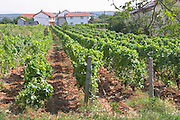 Rows of vines in the vineyards Zilavka local grape variety. Vita@I Vitaai Vitai Gangas Winery, Citluk, near Mostar. Federation Bosne i Hercegovine. Bosnia Herzegovina, Europe.