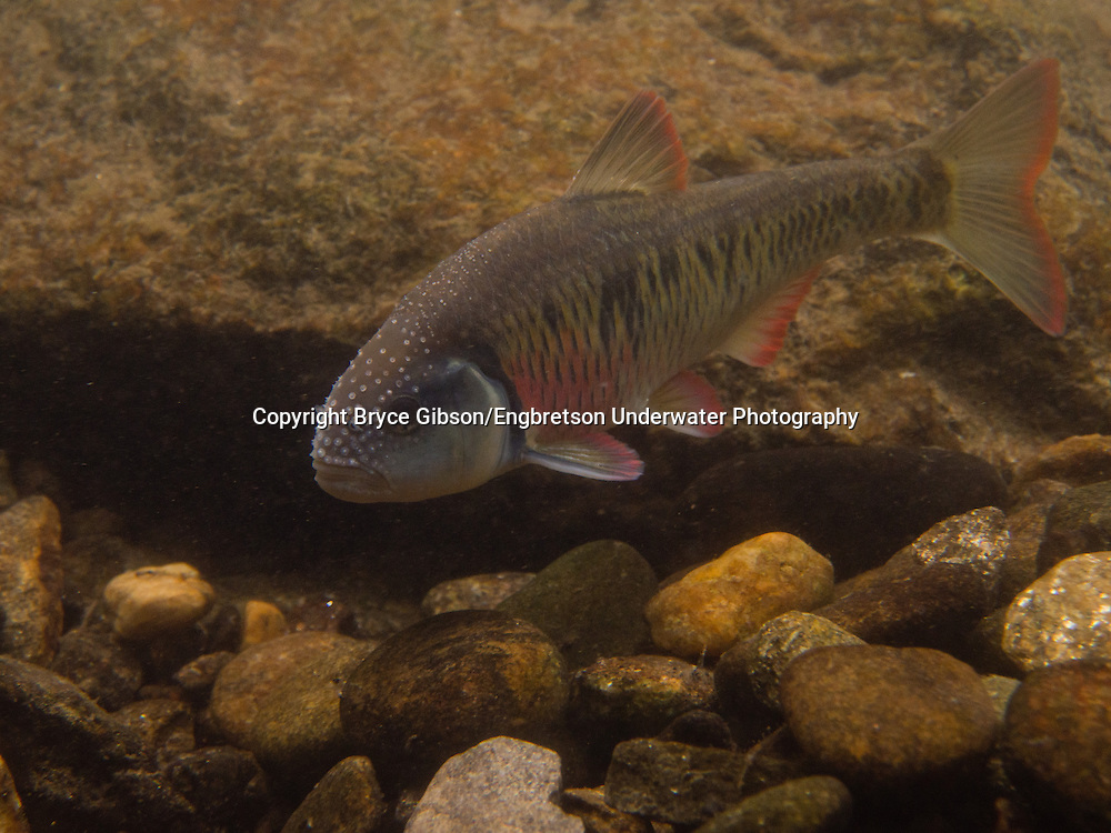 Striped Shiner<br /> <br /> Bryce Gibson/Engbretson Underwater Photography