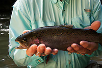 FLY ANGLER SHOWING OFF A RAINBOW TROUT CAUGHT FROM THE MOUNTAIN FORK RIVER IN BROKEN BOW, OKLAHOMA