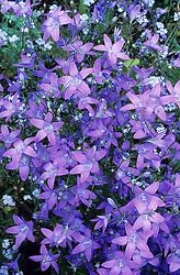 Campanula patula - bellflower