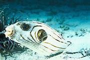 striped or narrow-lined puffer, <br /> Arothron manilensis, Mabul Island, <br /> off Borneo, Sabah, Malaysia,<br /> ( Celebes Sea )
