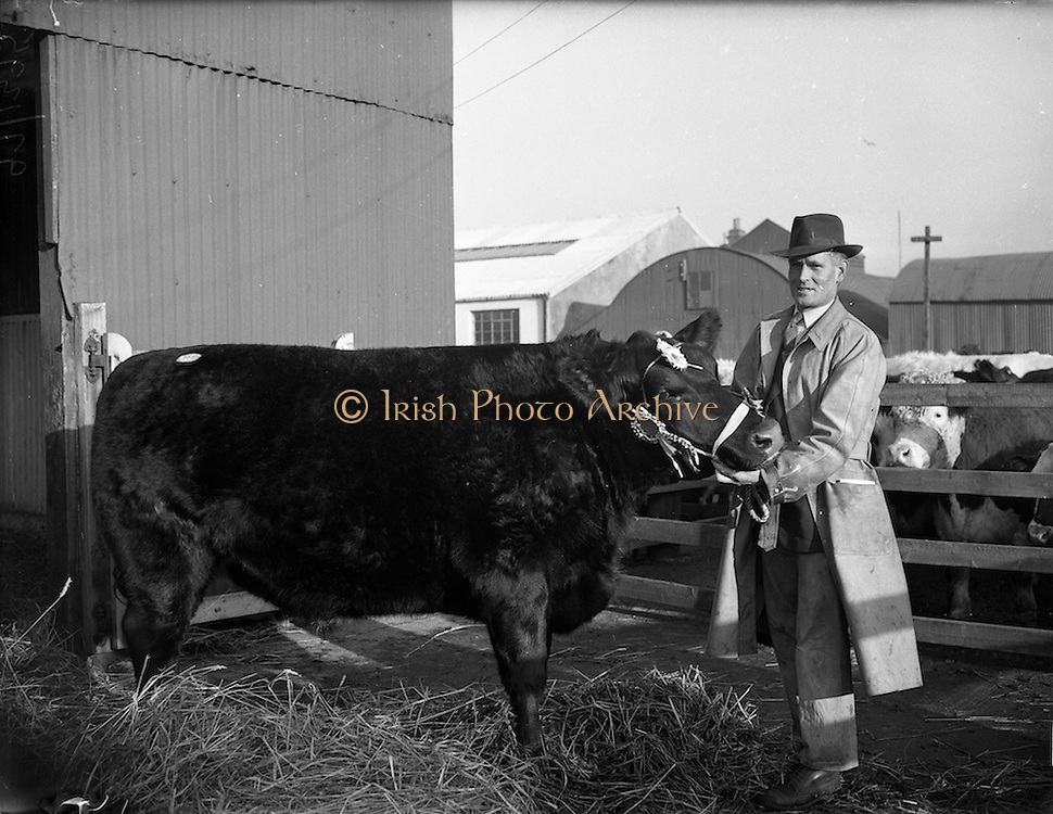 09/12/1952<br /> 12/09/1952<br /> 09 December 1952<br /> Christmas fat-stock at Dublin Cattle Market, Prussia Street. A prizewinning animal on display.