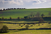 Cows grazing, Swinbrook, Oxfordshire,  UK