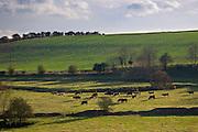 Cows grazing, Swinbrook, Oxfordshire,  UK