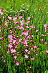 Silene dioca - Red campion growing in the meadow at ketley's