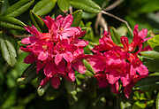 Alpenrose (Rhododendron ferrugineum) flowers bloom in Brenta Dolomites, Italy, Europe. From the ski resort of Madonna di Campiglio in the Trentino-Alto Adige/Südtirol region of Italy, the Passo Groste lift takes you directly into the Brenta Dolomites to enjoy scenic mountain hiking trails. UNESCO honored the Dolomites as a natural World Heritage Site in 2009.